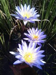 Lotus's remind us that some of the most beautiful things in life grow out of the darkest places